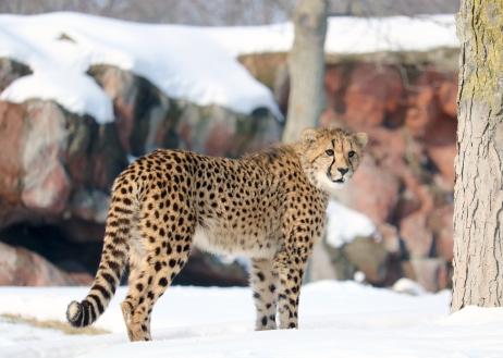 Cheetahs 36