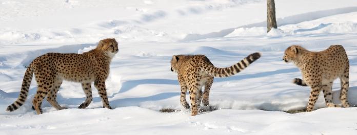 Cheetahs FB cover
