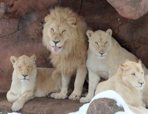 White lions 01 calendar
