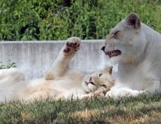 White lions 02