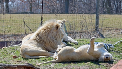 White lions 03
