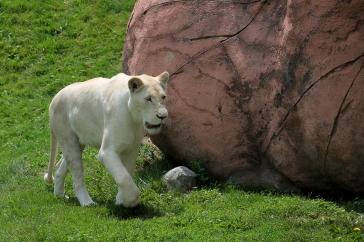 White Lions 06