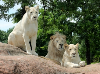 White Lions 17
