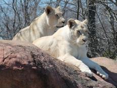 White lions 19