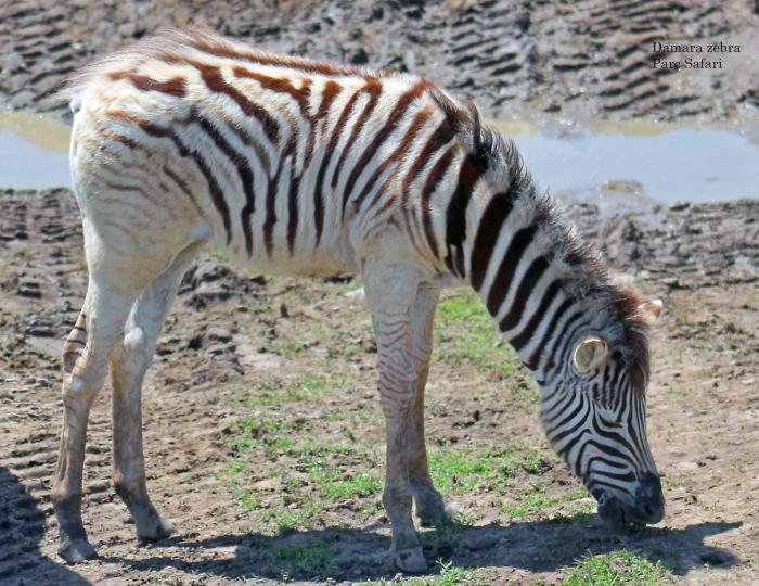 09 Damara zebra September