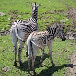 Damara zebra 10