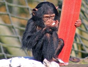 Monkey World chimp 05 calendar