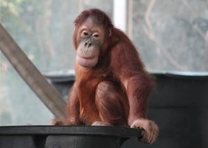 _Orangutan Juvenile