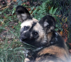 African hunting dog 2