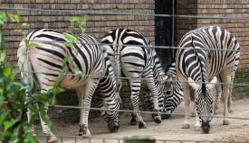 Chapmans Zebras