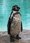 Humboldt penguin 2