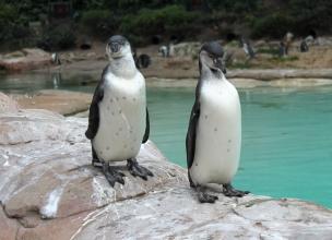 Humboldt penguin 7