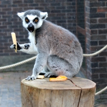 Lemurs 6