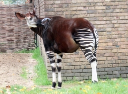 Okapi 2
