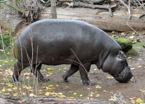 Pygmy Hippo