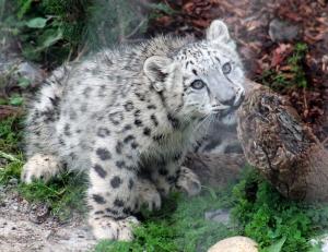 Snow leopard cubs 17 calendar