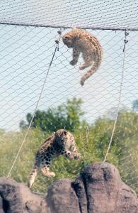 Snow leopard cubs 30