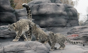 Snow leopards 03