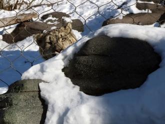 Snow leopards 21