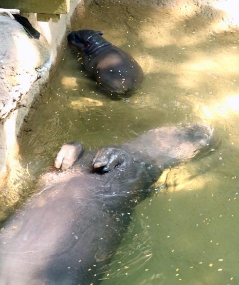 Pygmy hippos 15