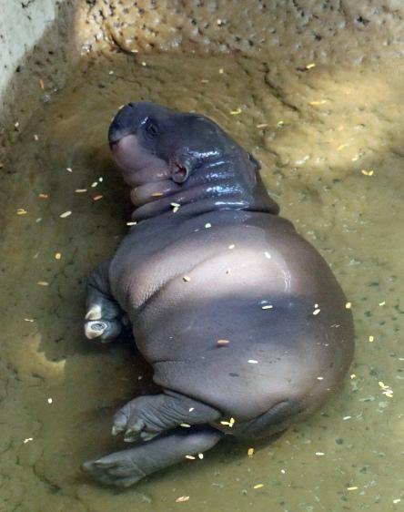 Pygmy hippos 18