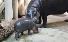 Pygmy hippos 22