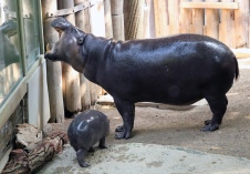 Pygmy hippos 23