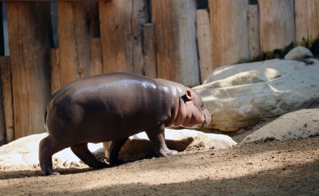 Pygmy hippos 34
