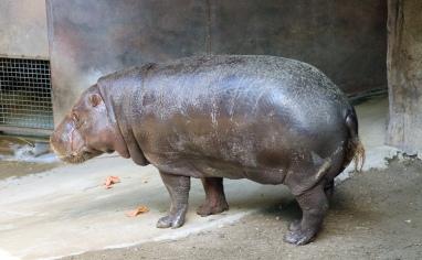 Pygmy hippos 39