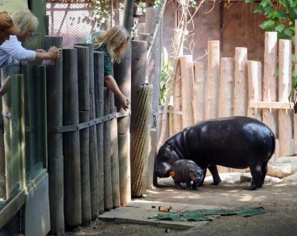Pygmy hippos 61