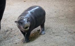 Pygmy hippos ff