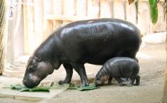 Pygmy hippos gg