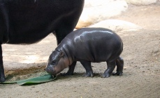 Pygmy hippos hh