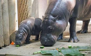 Pygmy hippos ii