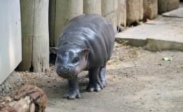 Pygmy hippos jj