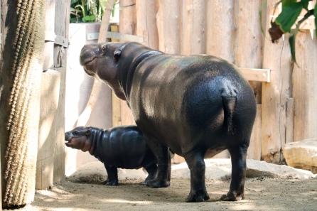 Pygmy hippos kk