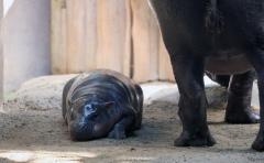 Pygmy hippos ll