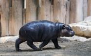 Pygmy hippos mm