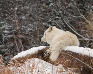 Arctic wolf 02