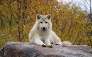 Arctic wolf 01