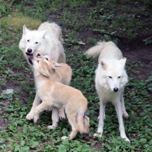 Arctic wolves 10