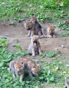 Wolf cubs 01