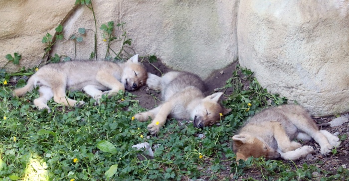 Wolf cubs 3