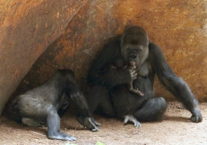 Gorilla baby 08
