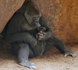 Gorilla baby 11