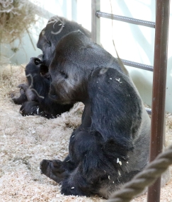 Gorilla baby 35