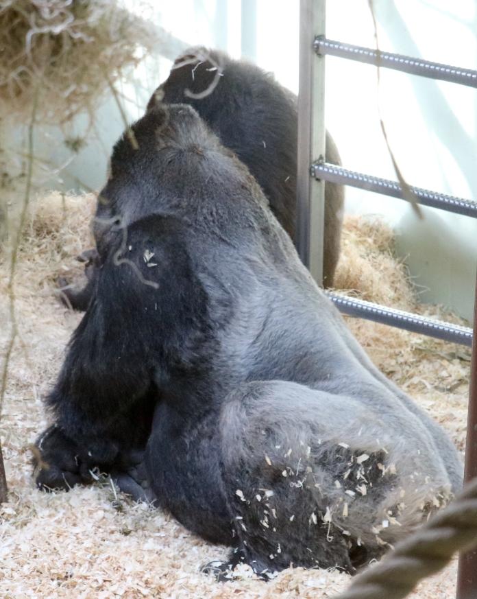 Gorilla baby 36