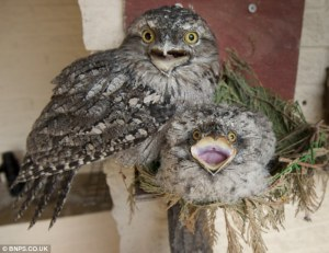 https://www.dailymail.co.uk/news/article-2339429/Worlds-oldest-Tawny-Frogmouth-owl-couple-parents-chick-Willow-Paultons-Park.html
