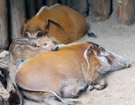 Hog family 01