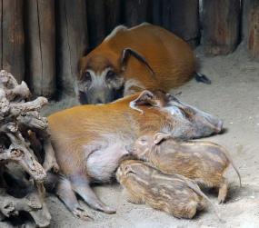 Hog family 02